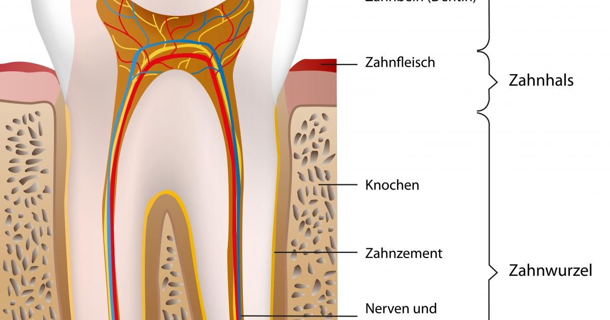 Aufbau und Anatomie des Zahnes — Dental Magazin