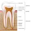 Aufbau und Anatomie des Zahnes